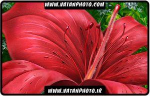 طرح بسیار زیبا از گل قرمز کاملا لایه باز +psd
