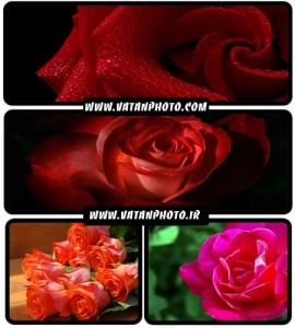 عکس های فوق العاده جذاب از گل رز با کیفیت بالا+ HD