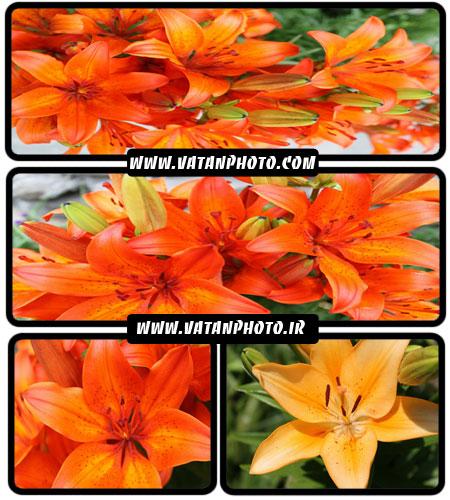 مجموعه عکس های بسیار جذاب از عکس های گل نارنجی+ HD