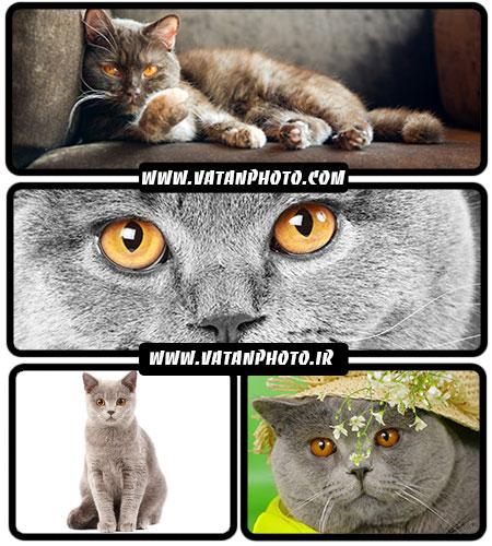 تصاویر جذاب از گربه های انگلیسی - شاتر استوک