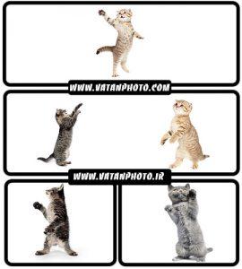 تصاویر گربه ایستاده روی دو پا - شاتر استوک