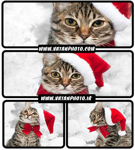 تصویر گربه با کلاه قرمز - شاتر استوک