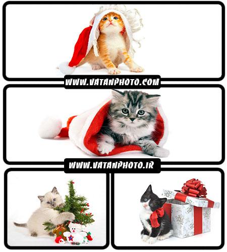 تصاویر گربه و کریسمس - شاتر استوک