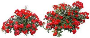آیکن بوته گل رز