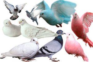 مجموعه آیکن کبوتر و کفتر