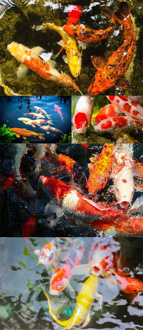 مجموعه تصاویر استوک ماهی کالیکو 7000x4667