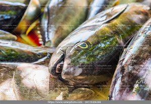 دانلود عکس سر ماهی