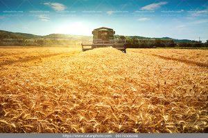عکس خوشه های زیبای گندم درمزرعه