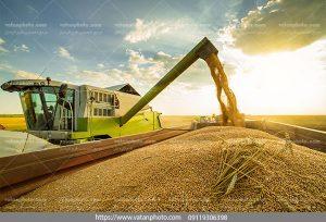 دانلود عکس خرمن برنج